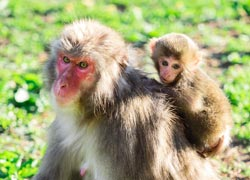 Mama Affe mit Baby Affe am Rücken