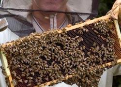 Ein Imker hält Bienenwaben mit tausenden Bienen in die Höhe