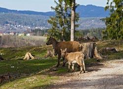 Bergziegen blicken über den Tierpark in Rosegg